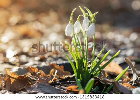 Spring flowers - snowdrops (Galanthus nivalis) blooming in a beautiful sunny day. Spring season #1315833416