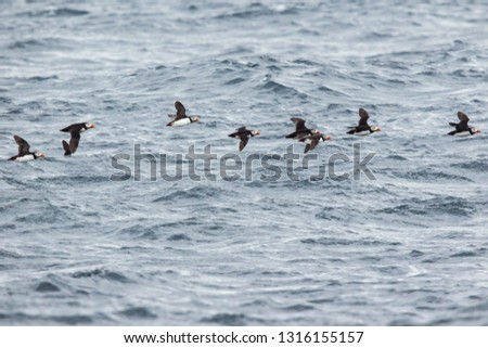 Flock of puffins skimming the waves near Bleiksoya #1316155157