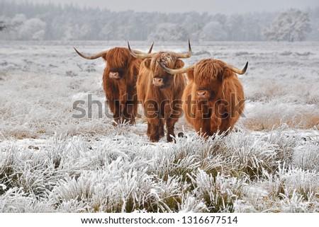 Scottish highlanders in a natural winter landscape. #1316677514