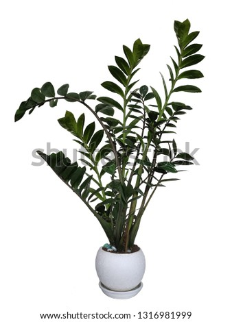 Zamioculcas, interior plant isolated on white background #1316981999