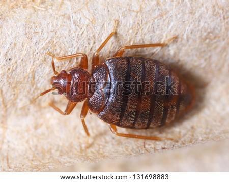 Close up cimex hemipterus on corrugated recycled paper, bedbug, blood sucker