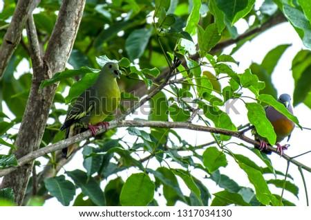 A Pair Of Pink-Necked Green Pigeon (Treron vernans) #1317034130