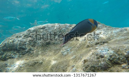 close up of a saddle wrasse and a school of silver fish at honolua bay #1317671267