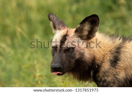 The endangered African Wild Dog found hunting in the rain in South Africa #1317851975