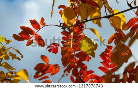 Autumn landscape photography, mountain ash in full beauty, illuminated by the colors of autumn. A tree with fruits in the form of a bunch of orange-red berries, as well as the most berries #1317876743
