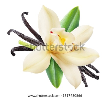 Dried vanilla sticks and orchid vanilla flower. File contains clipping path. #1317930866