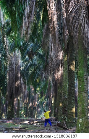 Harvesting of fruit of oil palm #1318036187
