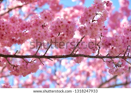 Cherry blossoms PINK #1318247933