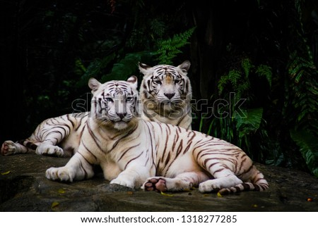 A pair of white tiger resting side by side. White tiger or bleached tiger is a pigmentation variant of the Bengal tiger, which is reported in the wild from time to time in the Indian states. #1318277285
