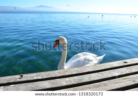 Mountain Swan, Nyon Switzerland #1318320173