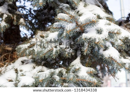 Snow-covered Christmas tree branch #1318434338