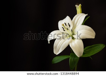 White lilies on black background close-up #1318448894