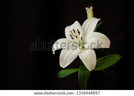 White lilies on black background close-up #1318448897