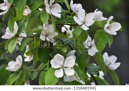 Spring flowering of quince. The plant is used in folk medicine, both decorative and in the food industry #1318481945