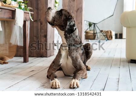 Big beautiful dog in a bright room #1318542431