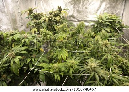 Marijuana. Marijuana and Cannabis growing indoors. Marijuana Grow Tent with lights. Medical and Recreational Cannabis plants.  #1318740467