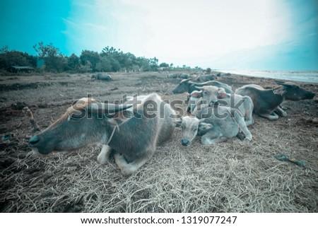 Buffalo farm in Java littoral, Batang.  #1319077247