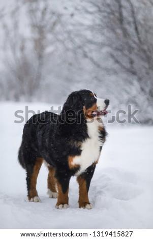 Berner Sennenhund big dog on walk in winter landscape, with snow #1319415827