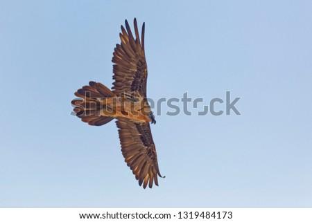 Bartgeier, Gypaetus barbatus, Bearded Vulture