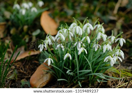 White spring snowdrops. Snowdrops field. Galanthus nivalis. Snowdrop spring flowers. Snowdrop or Galanthus. Spring flower snowdrop is the first flower in the end of winter and the beginning of spring. #1319489237
