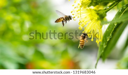 Flying honey bee collecting pollen at yellow flower.Bee flying over the yellow flower in blur background #1319683046