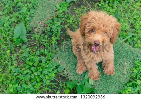 Cute puppy Toy Poodle sit at green garden #1320092936