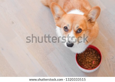 Welsh corgi pembroke red dog with a dog bowl with dog dry food kibble looking hungry to the camera #1320333515