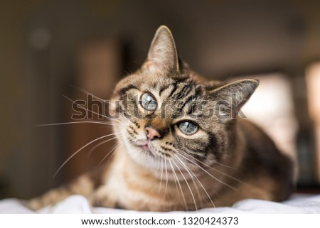 Cute tabby cat with blue eyes and long whiskers looks at camera with a sweet expression. Close-up portrait of a beautiful cat laying indoors. #1320424373