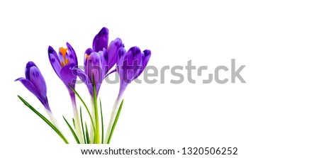 Bouquet of beautiful spring snowdrops flowers violet crocuses on a white background with space for text. Top view #1320506252