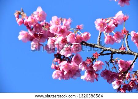 japanese cherry blossoms #1320588584