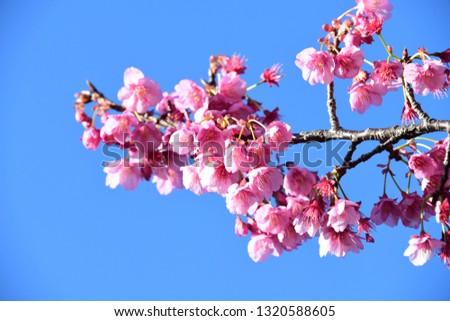 japanese cherry blossoms #1320588605