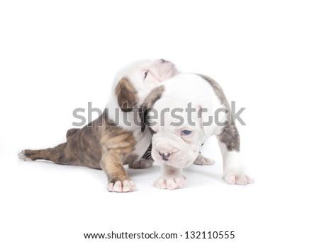 Bulldog pups playing on white background #132110555