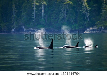 Killer whales: three orcas in a row at Telegraph cove at Vancouver Island, British Columbia, Canada. #1321414754