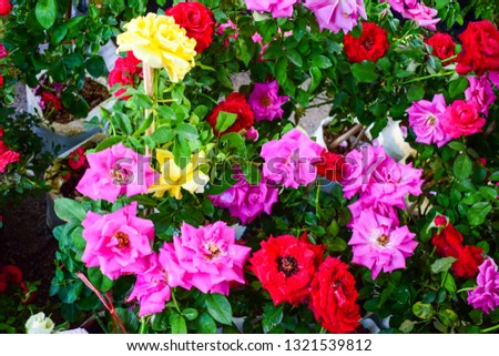 different colored rose flowers #1321539812