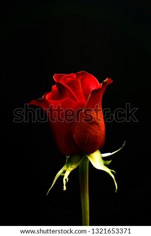 Red Rose Flower #1321653371