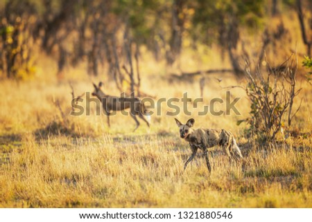 Wild dog hunting in Botswana, buffalo calf with predators. Wildlife scene from Africa, Moremi, Okavango delta. Animal behavior, pack pride of African wild dogs offensive on calf, Botswana - Image  #1321880546