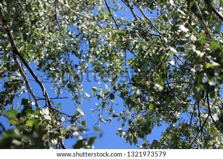 Rustling birch leaves #1321973579