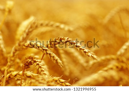 Wheat field background. Harvest and food concept #1321996955