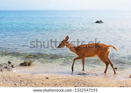 Young fawn of Javan Rusa on beach of Bali west national park and Menjangan ( deer island ) - popular travel destination for scuba diving safari, snorkeling adventure tour, animals sighting trekking.  #1322547191