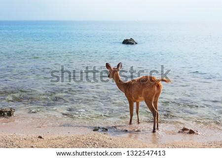 Young fawn of Javan Rusa on beach of Bali west national park and Menjangan ( deer island ) - popular travel destination for scuba diving safari, snorkeling adventure tour, animals sighting trekking.  #1322547413