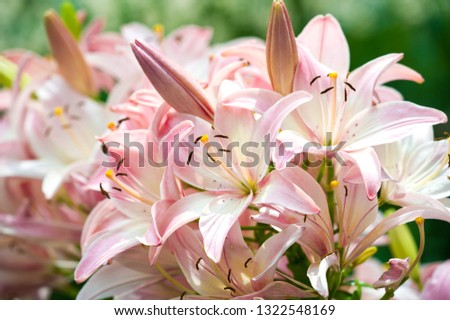 Lilies Lilium Lily - Flowers are large, often fragrant, and are presented in a wide range of colors, including white, yellow, oranges, pink, red and purple. Marking includes spots and brush strokes. #1322548169