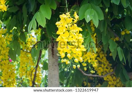 The bright yellow flowers of a Cassia leptophylla tree in Atibaia, Sao Paulo, Brazil #1322619947