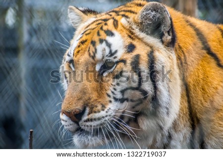 A black transverse stripes Siberian Tiger in Florida #1322719037