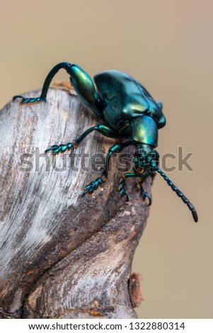 frog-legged beetle - Sagra sp. Royalty-Free Stock Photo #1322880314