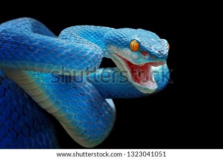 Blue viper snake closeup face, viper snake, blue insularis, Trimeresurus Insularis, animal closeup Royalty-Free Stock Photo #1323041051