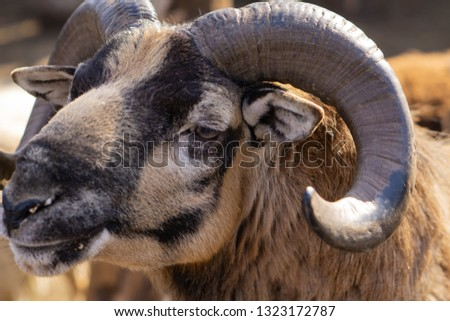 Mountain sheep. Beautiful animals in the city park on a sunny day.. #1323172787