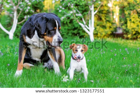 Two dogs, big and small dog friends. Great Swiss Mountain Dog and Little Jack Russell on the grass against the background of the summer garden. Two pets, couple of friends. #1323177551