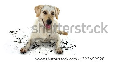 FUNNY DIRTY MIXEDBRED GOLDEN OR LABRADOR RETRIEVER AND MASTIFF DOG, AFTER PLAY IN A MUD PUDDLE, MAKING GUILTY FACE. ISOLATED AGAINST WHITE BACKGROUND. STUDIO SHOT WITH COPY SPACE. #1323659528