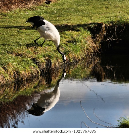 A picture of a Red Crowned Crane with reflection #1323967895