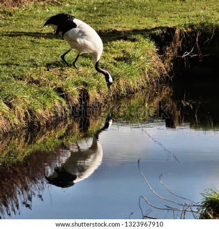 A picture of a Red Crowned Crane with reflection #1323967910